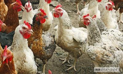 国産の親鶏を使用